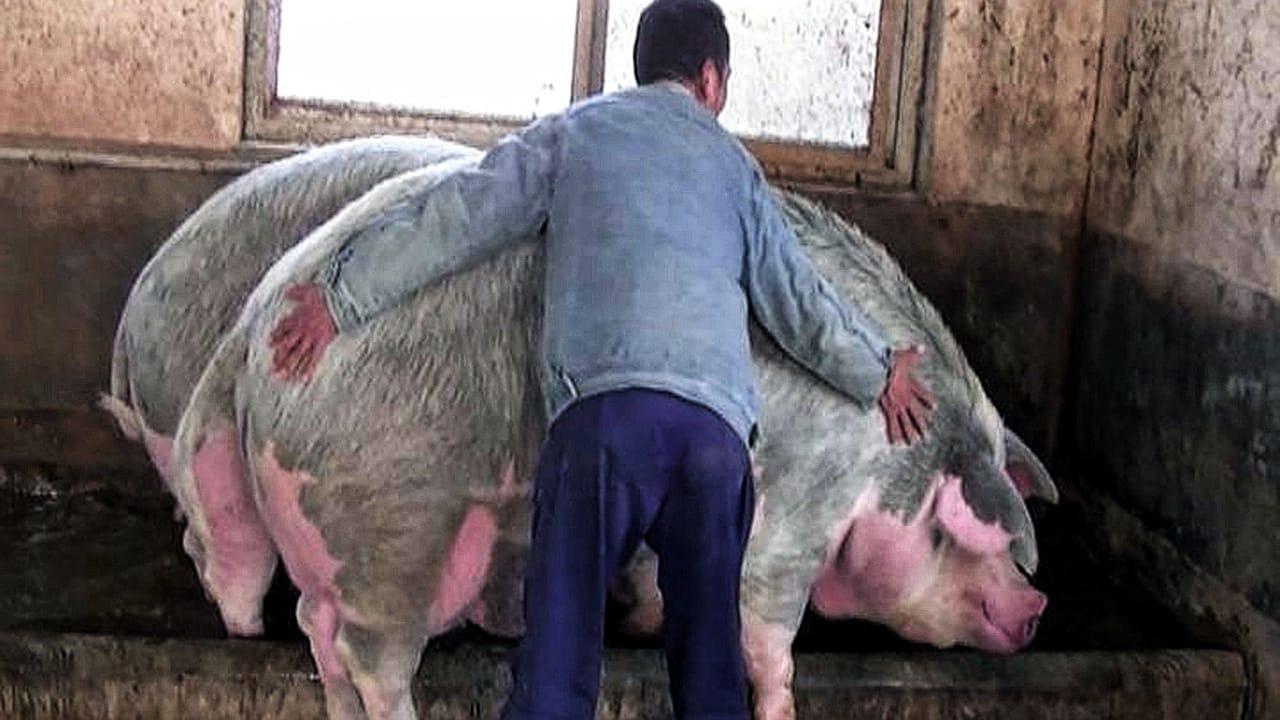 giant pig china 1280
